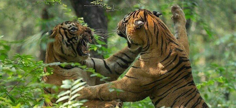 Тигры сразились в жестокой битве перед группой туристов
