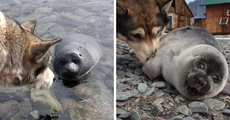 Собака спасла детёныша нерпы