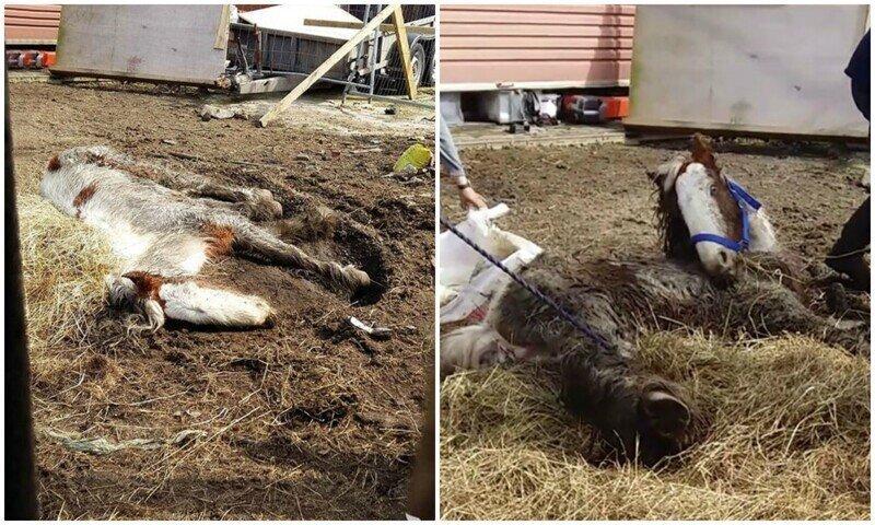 Люди посчитали лежащую в земле лошадь мертвой, но бедняга еле дышала