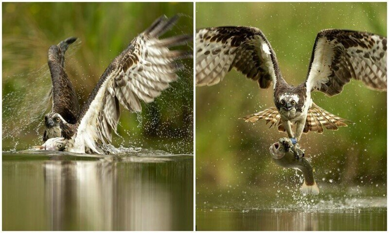 Точно в цель: фотограф заснял скопу за ловлей рыбы