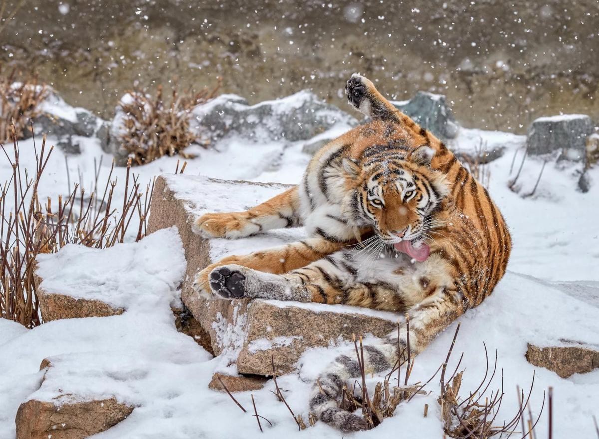 Амурский тигр: Гигантам стало тесно. Тигры всё чаще дерутся, воруют скот, ведут себя агрессивно