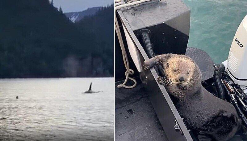 Морская выдра забралась в лодку, чтобы спастись от косатки