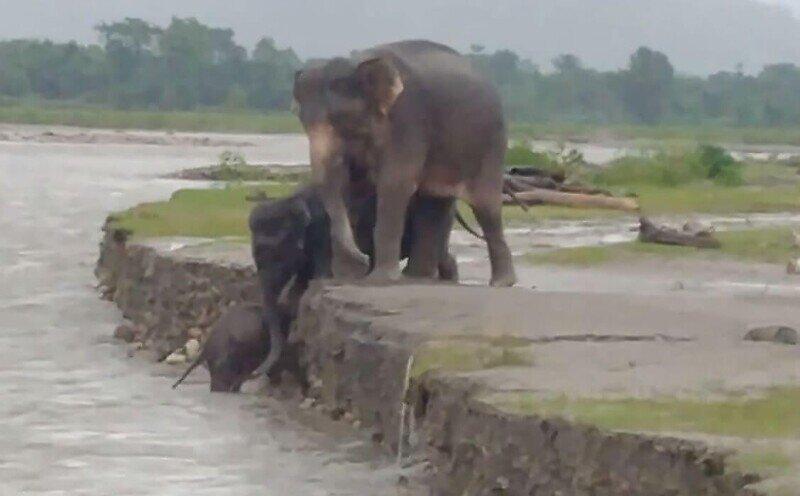 В Индии слоны помогли маленькому детенышу выбраться из реки