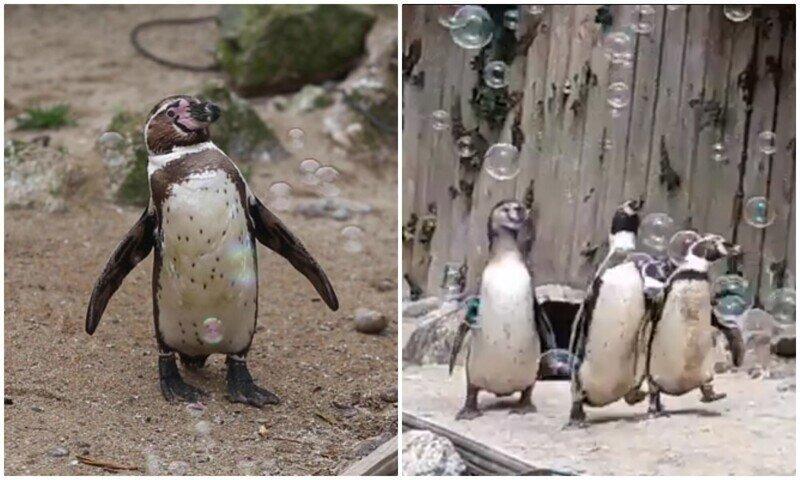 Как дети малые: пингвины и машина для мыльных пузырей