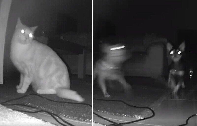 Чихуахуа прогнали соседскую кошку, решившую полакомиться их кормом
