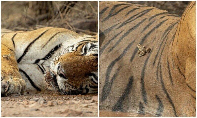 """""""Это мое место!"""": бесстрашная лягушка донимает тигра"""
