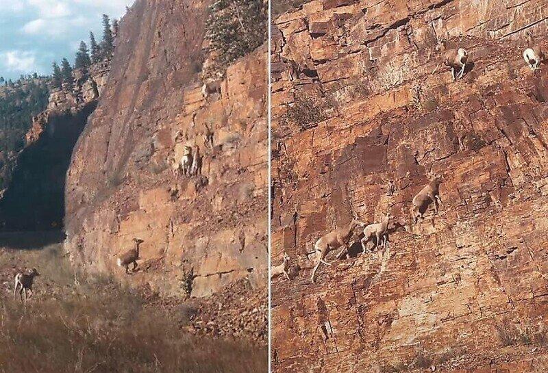 Толсторогие бараны грациозно карабкаются по скале