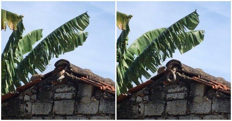 Крыса вступила в схватку со змеей на крыше