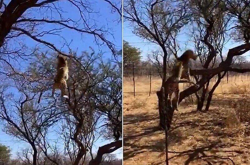 Леопард эффектно поймал птицу в прыжке