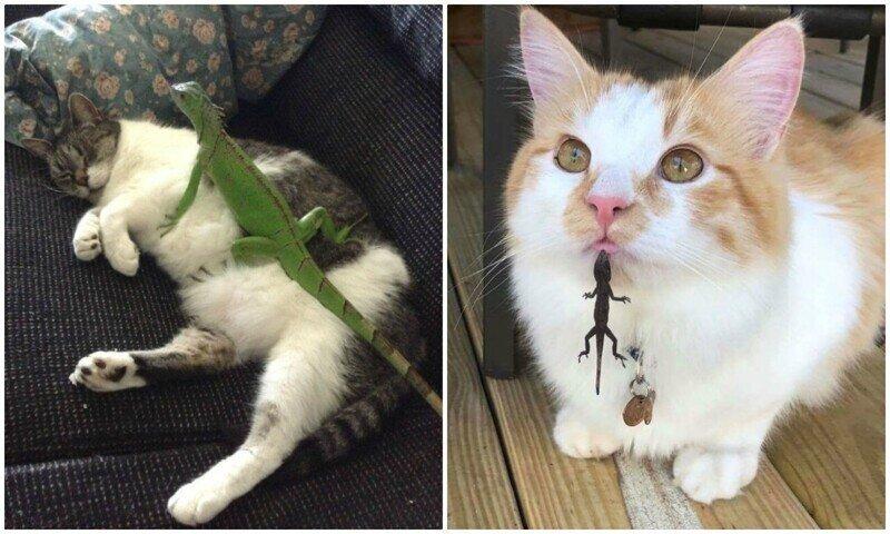 40 смешных фото, показывающих всю суть отношений кошек и ящериц