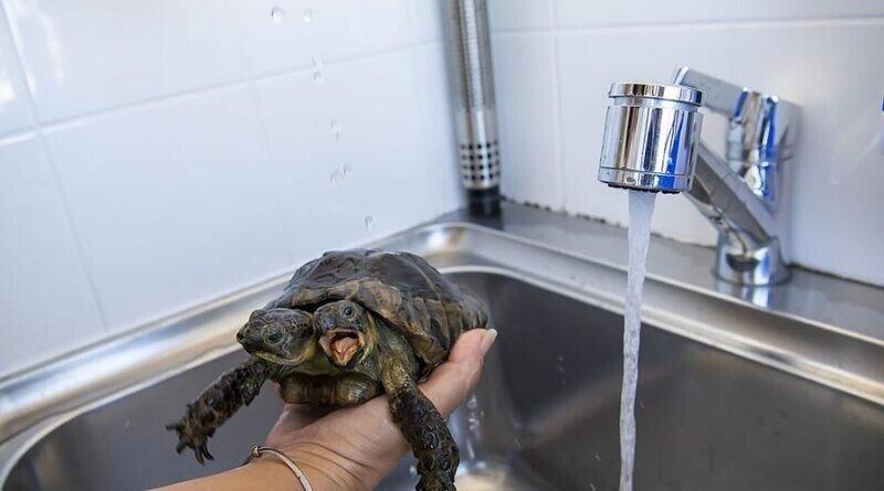 Двухглавая черепаха, которой скоро исполниться 23 года