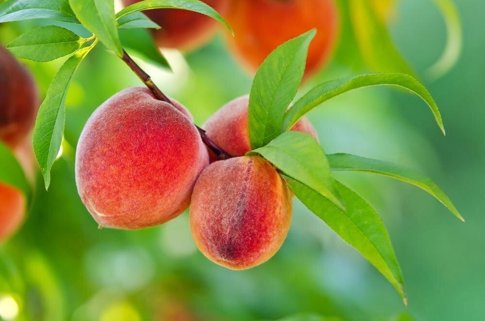 Почему опадают плоды персикового дерева?