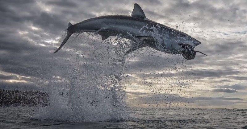 Белая акула выпрыгнула из воды на рекордную высоту