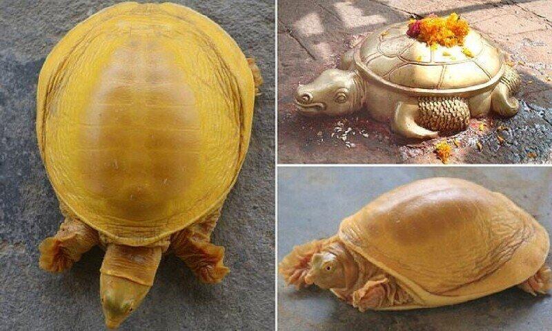 В Непале нашли редкую черепаху с золотистым панцирем