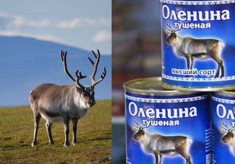 На Севере своя атмосфера. На Ямале вкладываются в выведение «толстого оленя»