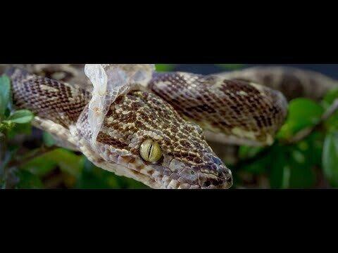 Змея сбрасывает кожу