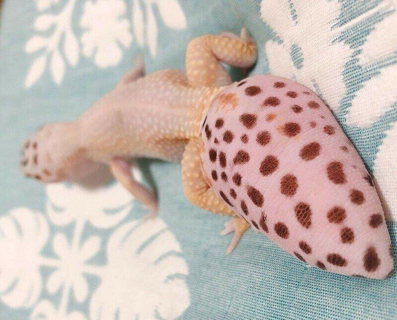 Почему хвост геккона может раздуваться?