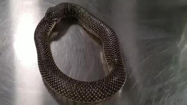 С помощью антисептика можно остановить самопоедание змеи