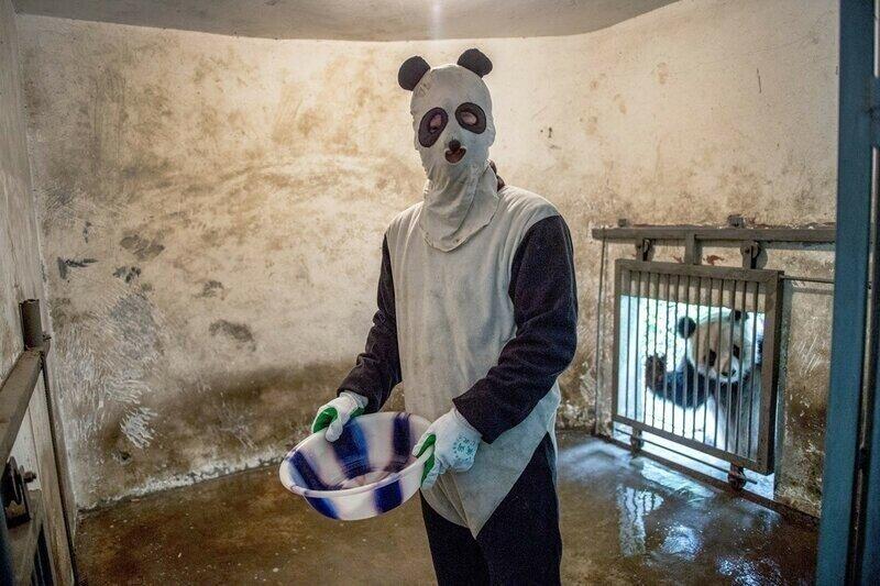 Лучшая работа в мире: как выращивают панд в Китае
