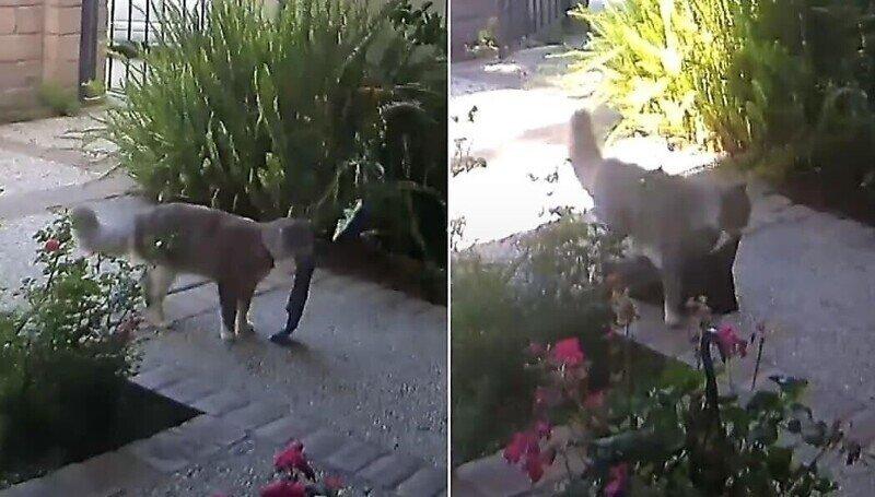 Кот-«клептоман» тащит в дом хозяина всё, что плохо лежит