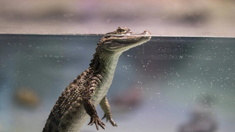 Как крокодилы плавают под водой