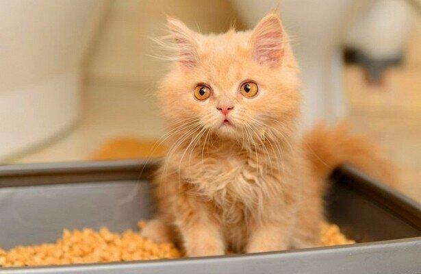 Как быстро приучить котенка к лотку