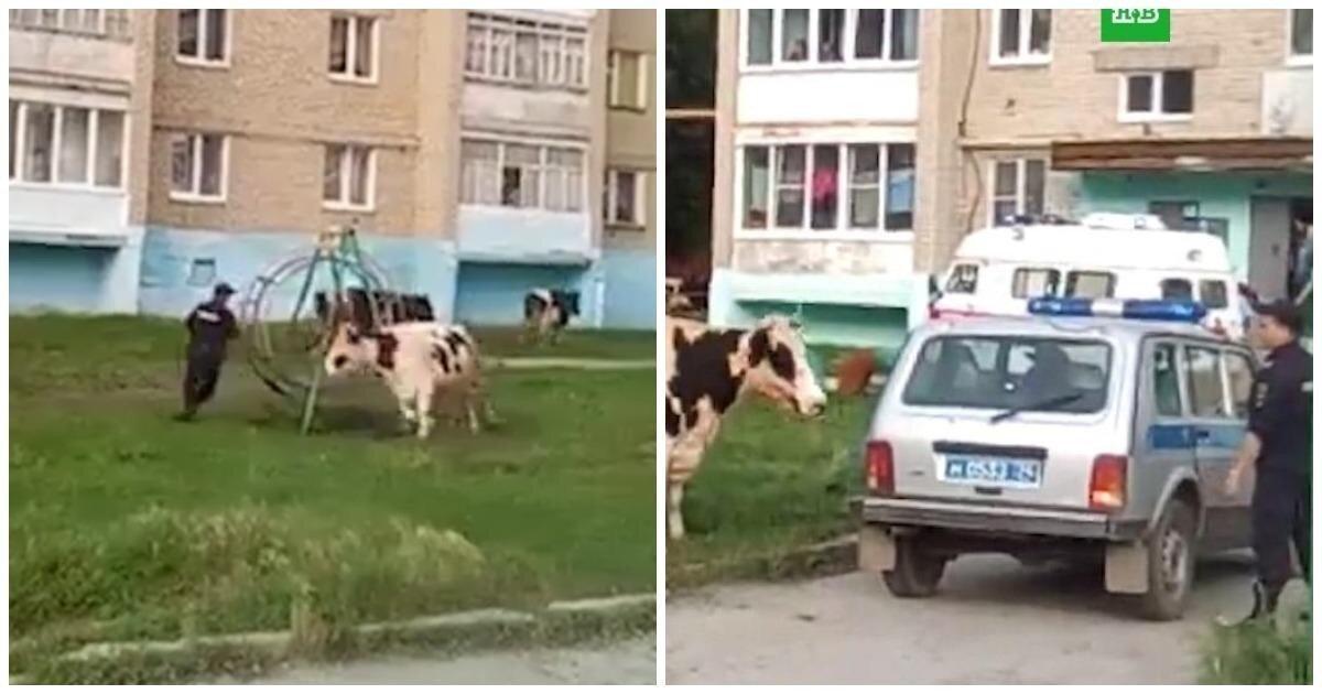 Противостояние полицейских и коров в Челябинской области попало на видео