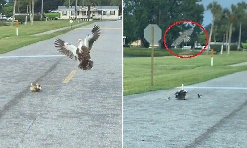 Отважная утка бросилась на ястреба, чтобы защитить своих птенцов