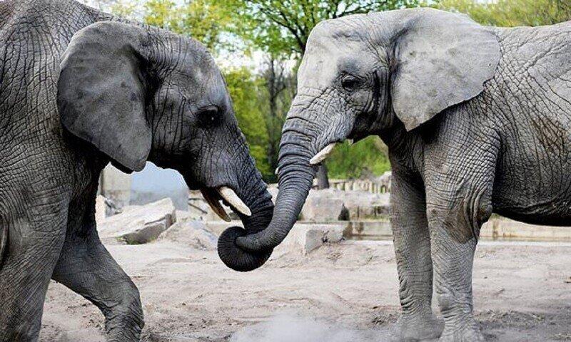 Польский зоопарк предложит слонам марихуану