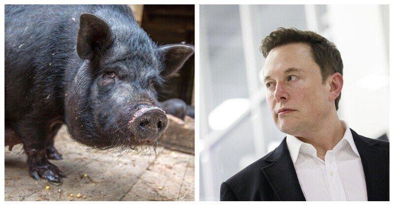 Илон Маск показал миру свинью