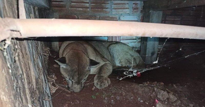 Напугали котейку: дикая пума забрела в бразильский посёлок