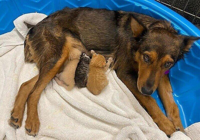 Собака стала мамой для осиротевших котят