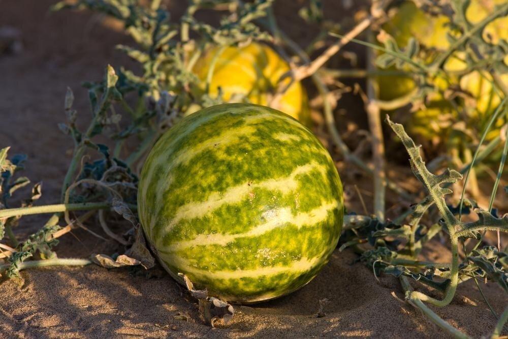 Особенности выращивания крупных арбузов в средней полосе