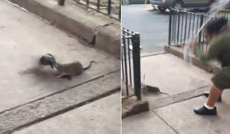 Уличная драка в Нью-Йорке: крыса против голубя