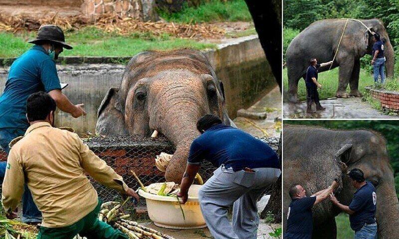 """""""Самый одинокий в мире слон"""" выходит на свободу"""