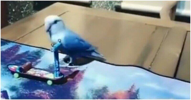 Один из самых талантливых попугаев, что вы видели