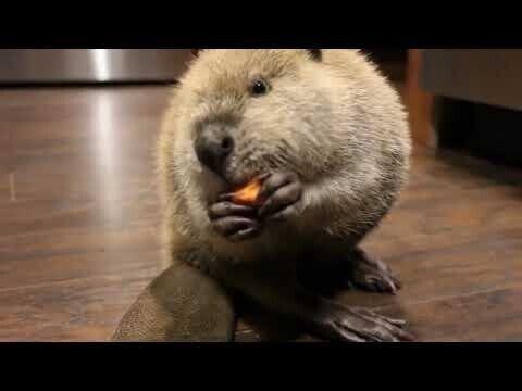 Бобр ест морковь и мило разговаривает