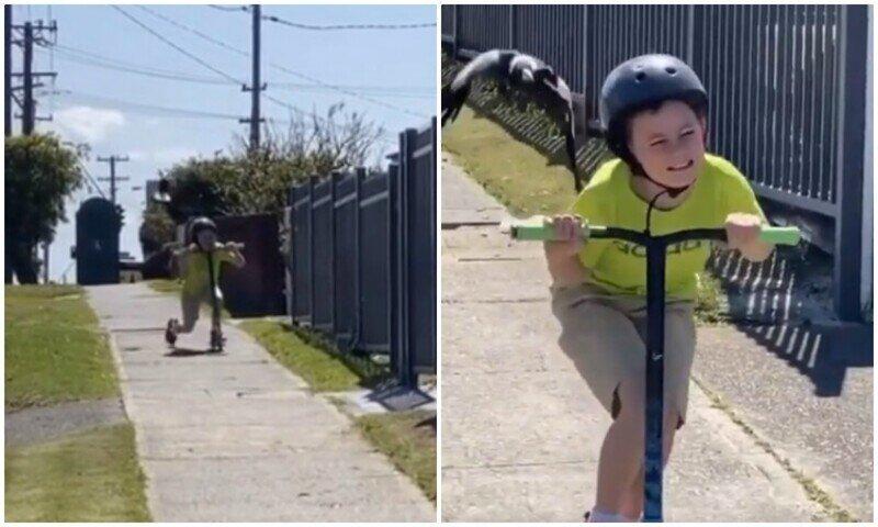И смех, и слезы: мальчик в ужасе сбегает от нападающей сороки