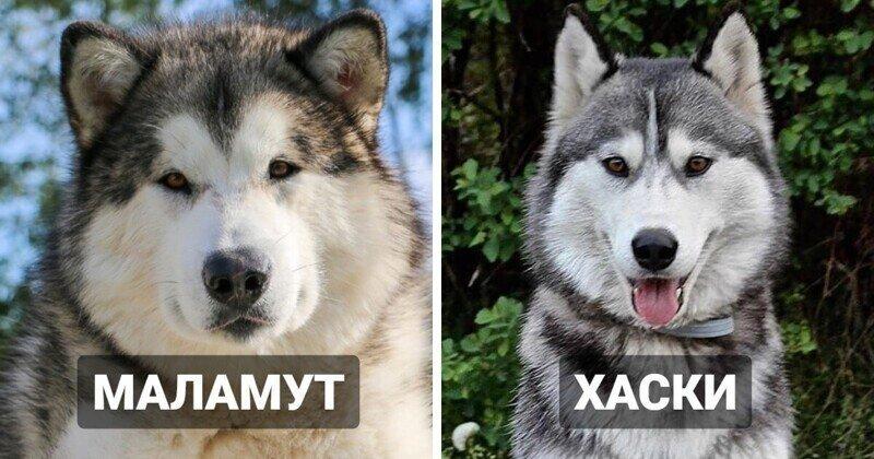 10 пород собак, которые очень похожи друг на друга