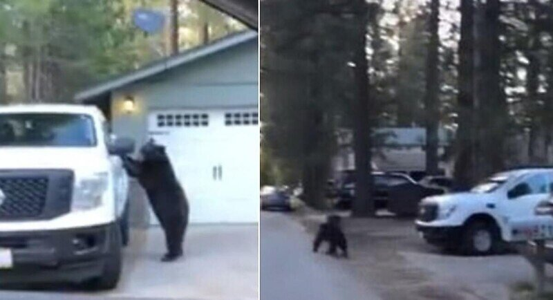 Медведь в поисках пропитания залез в салон пикапа
