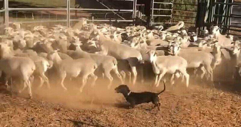 Деловая колбаса: такса оказалась отличным загонщиком овец