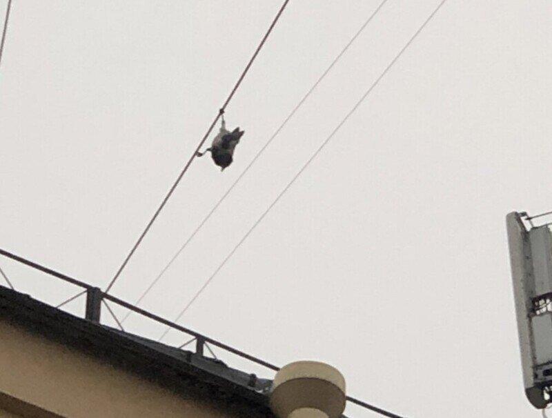 Ворона, которая думает что она летучая мышь