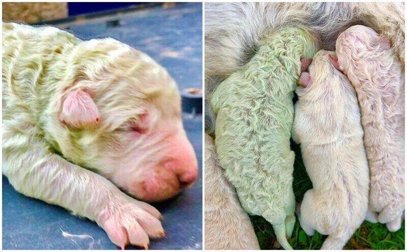 Фисташка: в Италии родился щенок с редчайшим окрасом