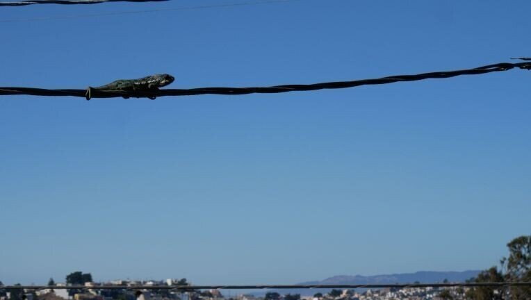 Хамелеон несколько дней просидел на линии электропередач
