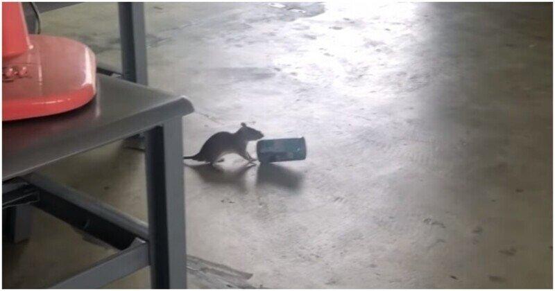 Крыса украла банку из-под кофе и начала прыгать словно кенгуру