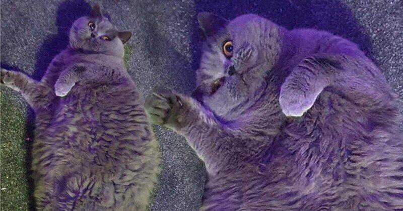 Женщина умоляет соседей перестать кормить ее толстую кошку