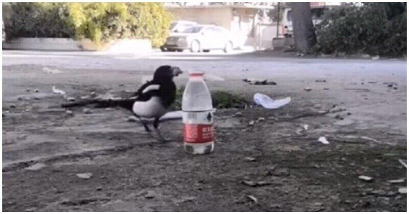 Сообразительная сорока начала кидать в бутылку камни, чтобы поднять уровень воды