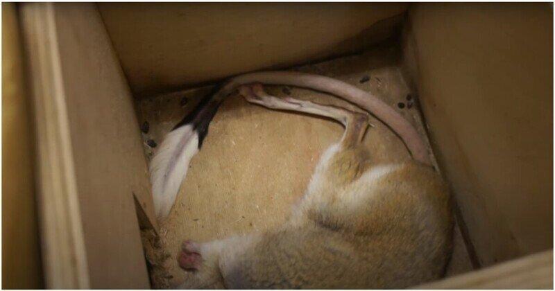 Сотрудники Московского Зоопарка показали, как зимой спят тушканчики