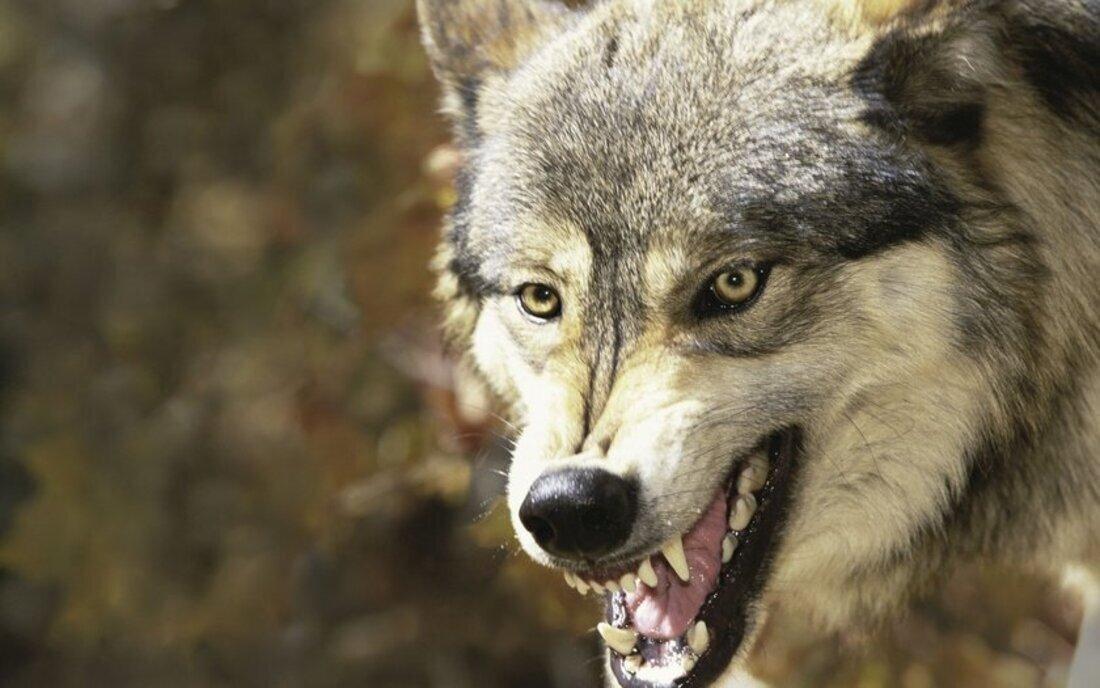 На Урале стаи волков без боязни устраивают рейды по улицам посёлков