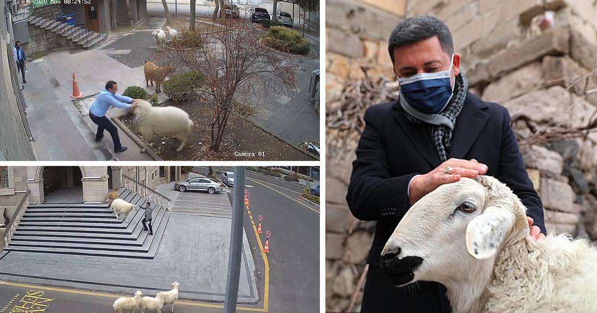 В Турции домашний скот сбежал с фермы и отправился в мэрию